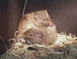 Prairie Voles Courtesy Missouri Department of Conservation