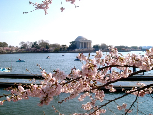 Cherry Blossoms in Washington, D.C. (c) Diana Belchase