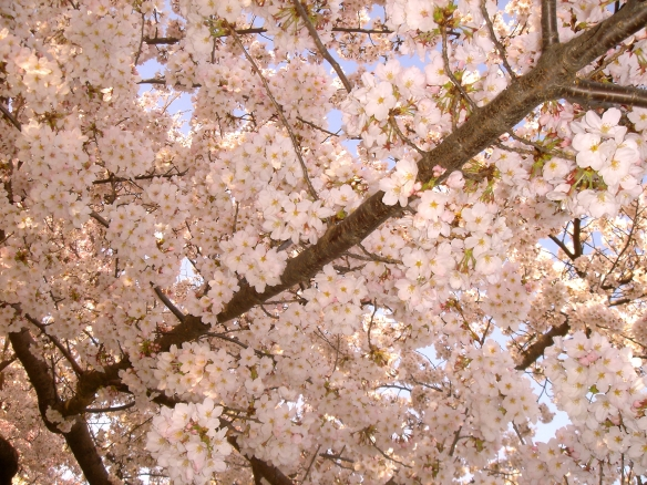 Cherry Blossoms up close (c) Diana Belchase
