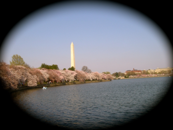 D.C.'s Washington Monument surrounded by Cherry Trees (c) Diana Belchase)